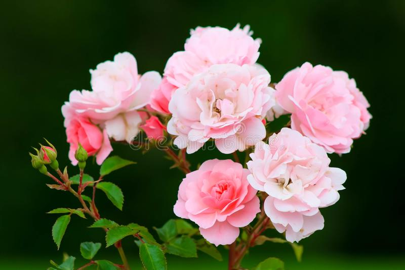 Μπους χλωμός - ρόδινα τριαντάφυλλα στοκ φωτογραφίες με δικαίωμα ελεύθερης χρήσης