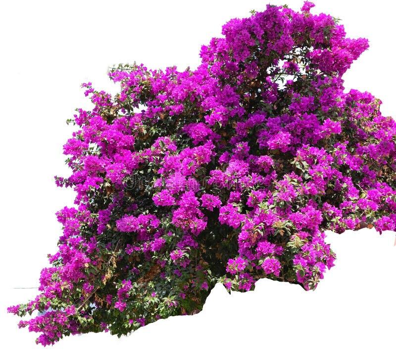 Μπους Bougainvillea με τα λουλούδια του φωτεινού πορφυρού χρώματος, ένα γένος των αειθαλών εγκαταστάσεων σε ένα άσπρο υπόβαθρο στοκ φωτογραφίες