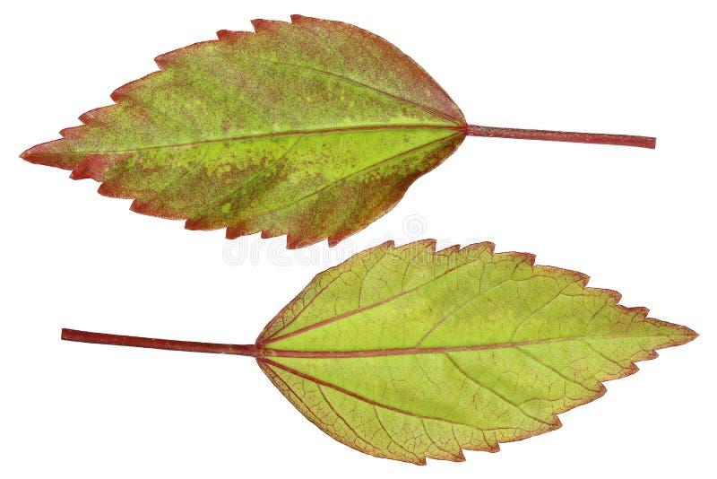 μπροστινά και πίσω όμορφα κινεζικά αυξήθηκε φύλλα που απομονώθηκαν στο λευκό στοκ εικόνες