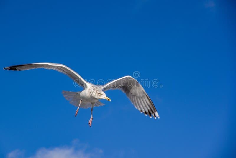 Μπροστινή άποψη ένα να γδάρει seaqull στοκ φωτογραφία