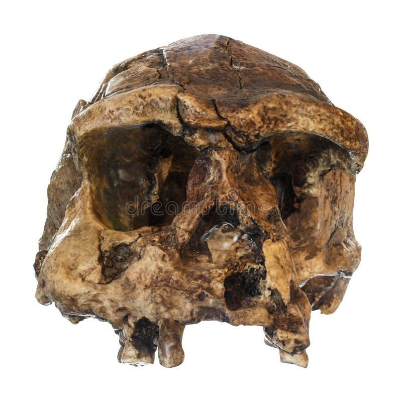 Μπροστινή άποψη κρανίων erectus ανθρώπων Ανακαλυμμένος το 1969 σε Sangiran, Ιάβα, Ινδονησία Χρονολογημένος σε 1 εκατομμύριο πριν  στοκ εικόνα