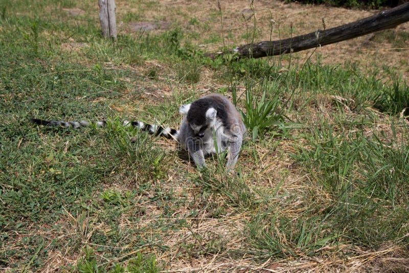 Μπροστινή άποψη μιας συνεδρίασης katta σε μια περιοχή χλόης στο ζωολογικό κήπο στη Γερμανία στοκ εικόνες με δικαίωμα ελεύθερης χρήσης