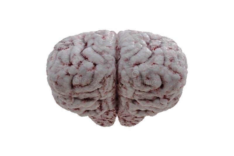 Μπροστινή άποψη σχετικά με τον ανθρώπινο εγκέφαλο που απομονώνεται στο άσπρο υπόβαθρο απεικόνιση που δίνεται τρισδιάστατη ελεύθερη απεικόνιση δικαιώματος