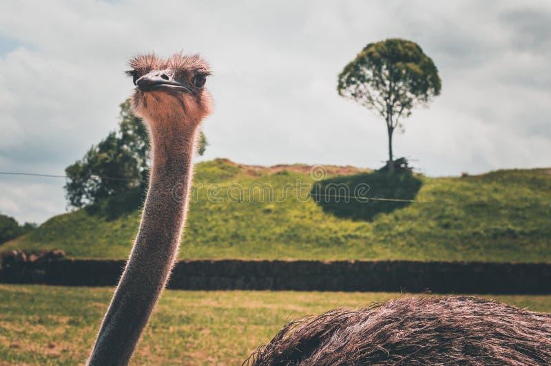 Μπροστινό πορτρέτο κεφαλιών και λαιμών πουλιών στρουθοκαμήλων στο πάρκο στοκ φωτογραφία