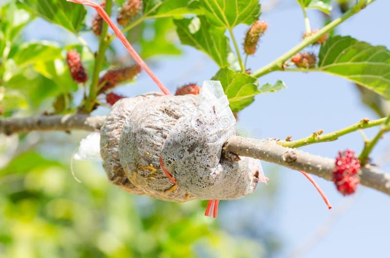Μπόλιασμα στο δέντρο μουριών στοκ εικόνες με δικαίωμα ελεύθερης χρήσης