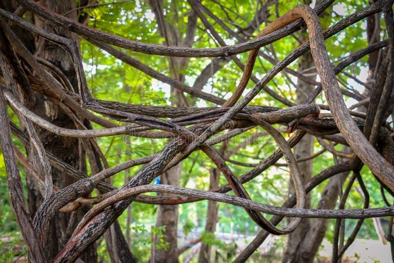 Μπλεγμένες εναέριες ρίζες ενός δέντρου στοκ φωτογραφίες