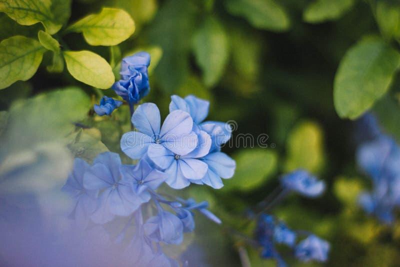 Μπλε άνθη στοκ εικόνα με δικαίωμα ελεύθερης χρήσης
