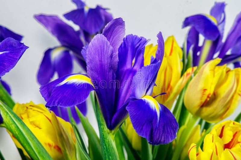Μπλε ίριδες με τις κίτρινες τουλίπες στοκ εικόνα με δικαίωμα ελεύθερης χρήσης