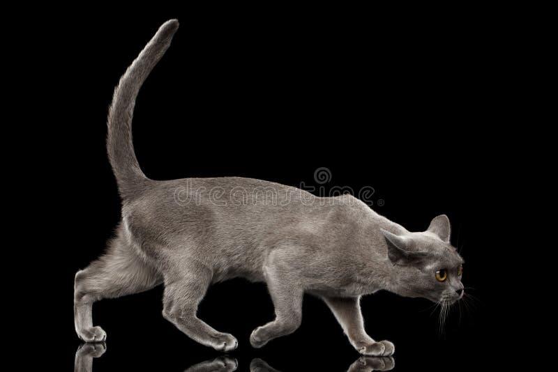 Μπλε βιρμανός γατάκι στο απομονωμένο μαύρο υπόβαθρο στοκ φωτογραφία