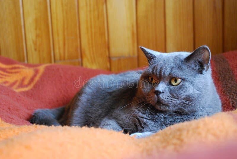 μπλε βρετανική γάτα shorthair στοκ φωτογραφία