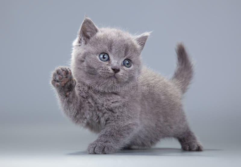 Μπλε βρετανικό γατάκι σε ένα γκρίζο υπόβαθρο στοκ εικόνες