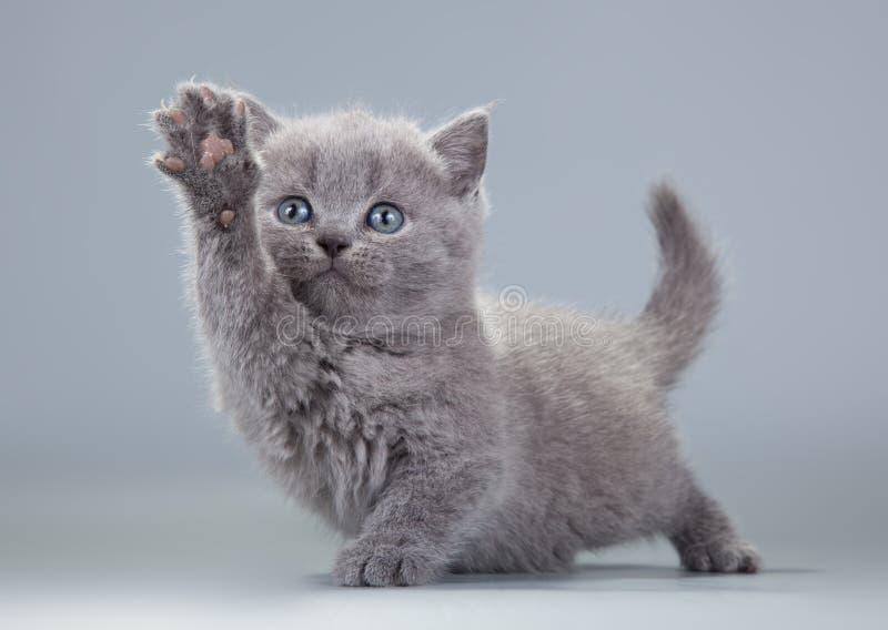 Μπλε βρετανικό γατάκι σε ένα γκρίζο υπόβαθρο στοκ φωτογραφία με δικαίωμα ελεύθερης χρήσης