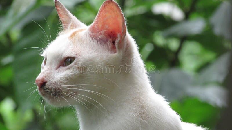 μπλε γάτα eyed στοκ φωτογραφίες
