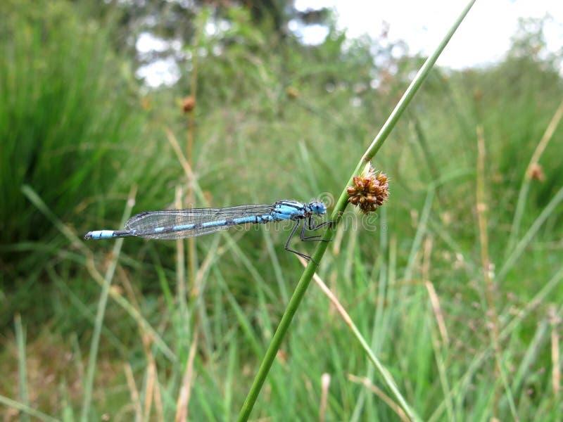 Μπλε δεσποινάριο-μύγα στοκ φωτογραφία με δικαίωμα ελεύθερης χρήσης