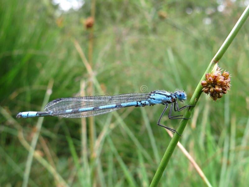 Μπλε δεσποινάριο-μύγα στοκ εικόνες με δικαίωμα ελεύθερης χρήσης
