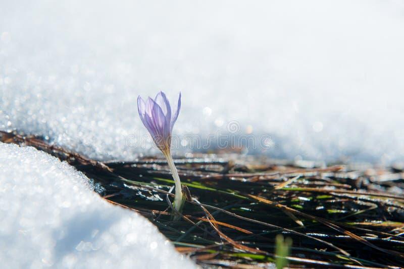 Μπλε ευγενές snowdrop στο χιόνι στοκ φωτογραφία