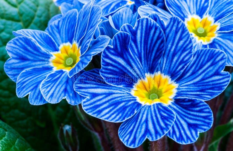Μπλε ζέβες primrose στοκ εικόνα με δικαίωμα ελεύθερης χρήσης