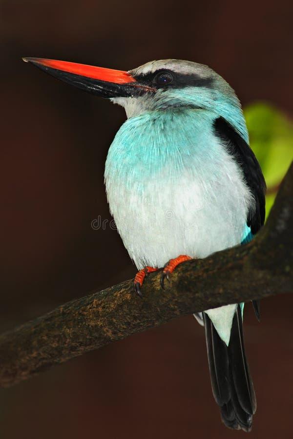 Μπλε-η αλκυόνη, γαλήνιο senegalensis, όμορφο πουλί στο σκοτεινό δασικό βιότοπο Συνεδρίαση αλκυόνων στον κλάδο δέντρων στοκ εικόνες