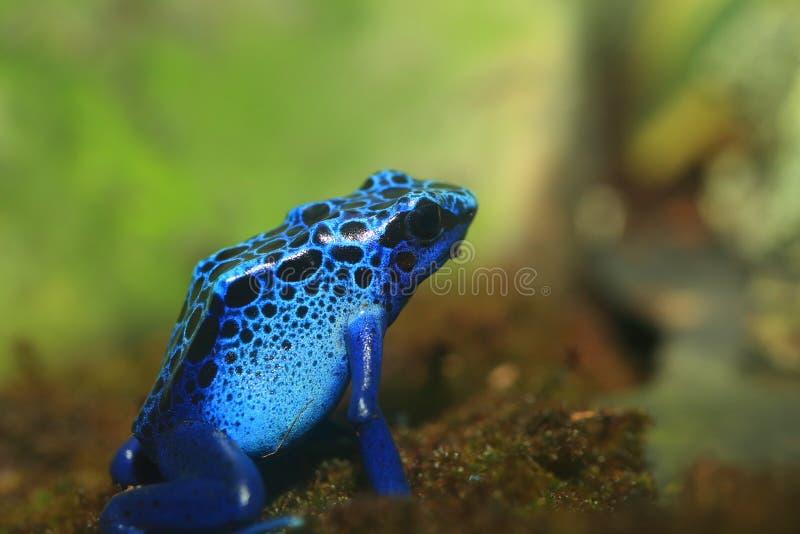 μπλε δηλητήριο βατράχων βελών στοκ φωτογραφία με δικαίωμα ελεύθερης χρήσης