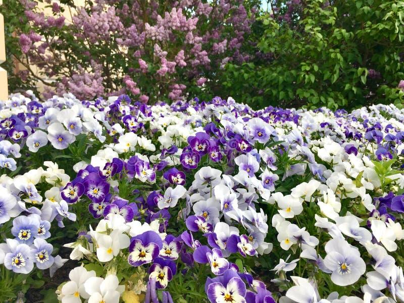 Μπλε και άσπρα λουλούδια Pansy στοκ φωτογραφία με δικαίωμα ελεύθερης χρήσης