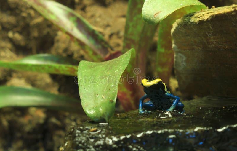 Μπλε και κίτρινος βάτραχος βελών δηλητήριων στοκ εικόνα