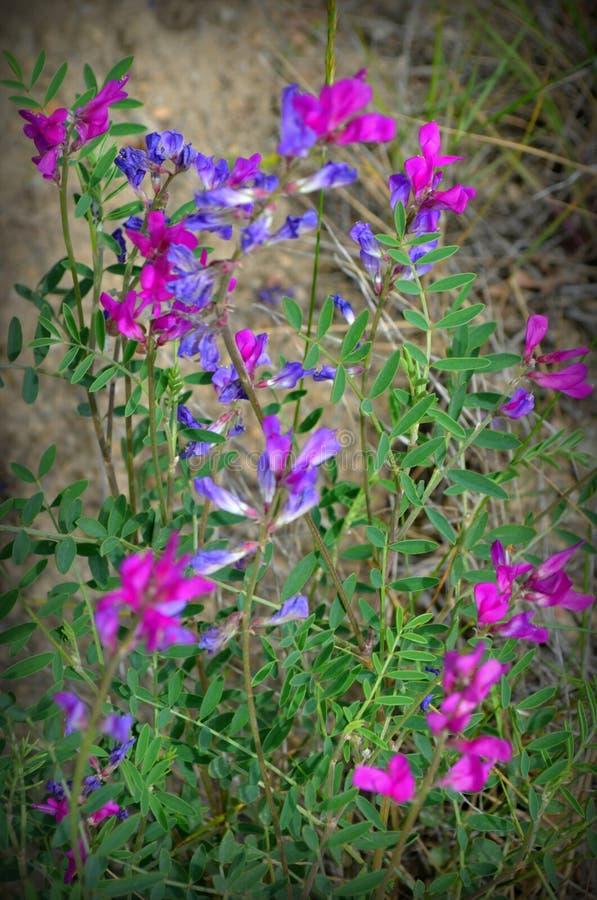Μπλε και πορφυρά λουλούδια στοκ εικόνες
