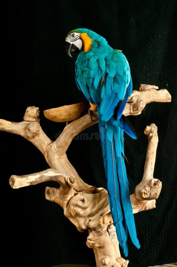 Μπλε και χρυσός διασωθείς Macaw παπαγάλος στοκ εικόνα