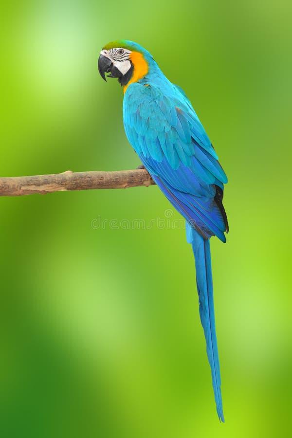 Μπλε και χρυσό κλουβί Macaw στοκ εικόνα