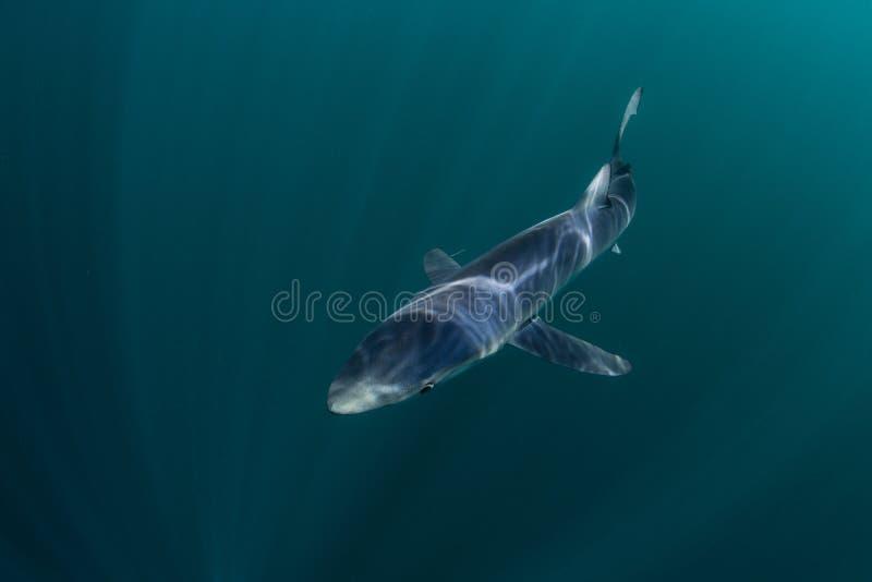 Μπλε καρχαρίας που κολυμπά στα σκοτεινά νερά στοκ εικόνα