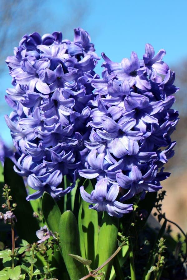 Μπλε κρίνος του Ντελφτ στοκ εικόνα με δικαίωμα ελεύθερης χρήσης