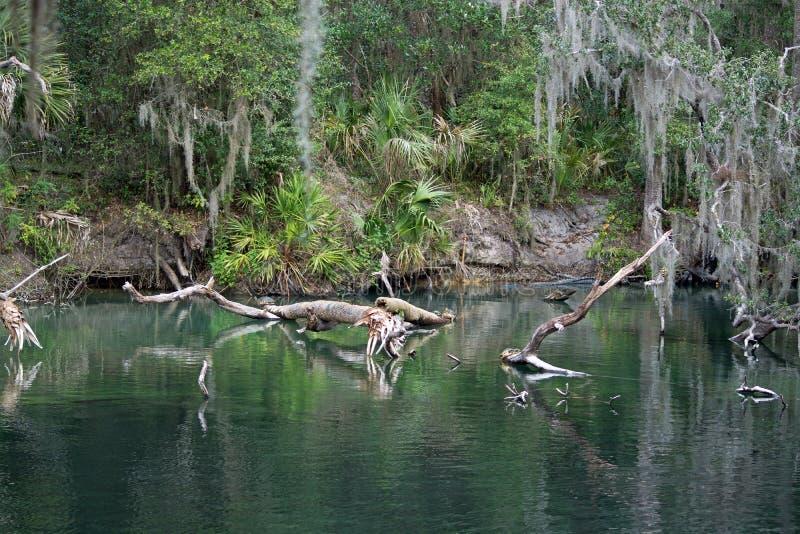 Μπλε κρατικό πάρκο ανοίξεων, Φλώριδα, ΗΠΑ στοκ φωτογραφίες