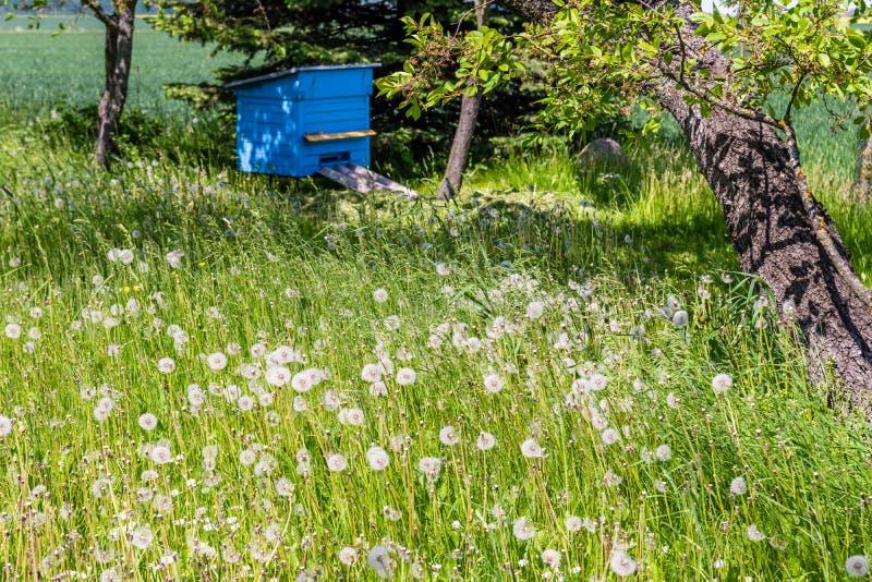 Μπλε κυψέλη στον κήπο κοντά στο παλαιό δέντρο κερασιών στοκ εικόνα με δικαίωμα ελεύθερης χρήσης