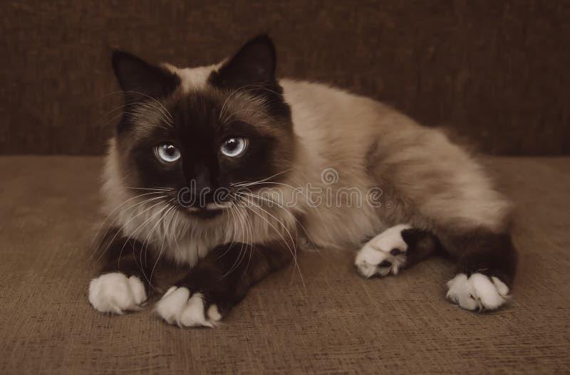 μπλε μάτια γατών σιαμέζα στοκ φωτογραφία