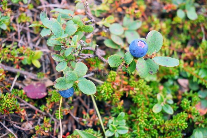 Μπλε μούρα, βακκίνια, φύλλα στοκ εικόνες