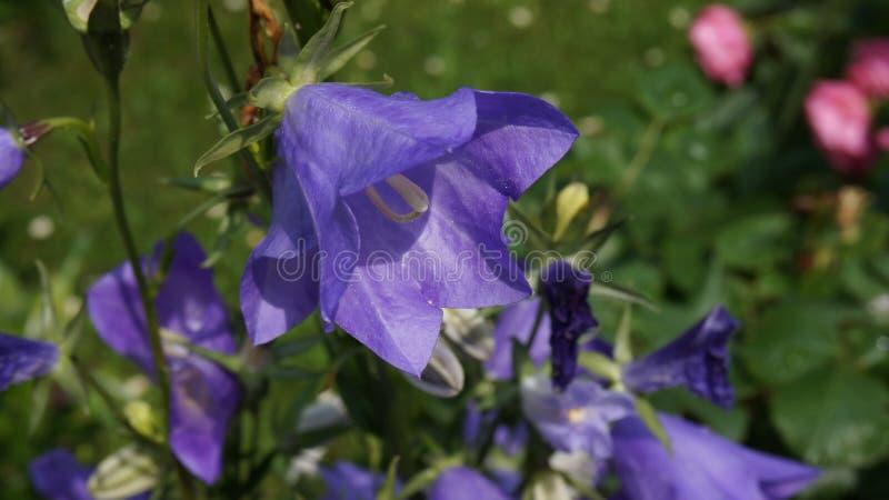 Μπλε λουλουδιών κουδουνιών στοκ εικόνες