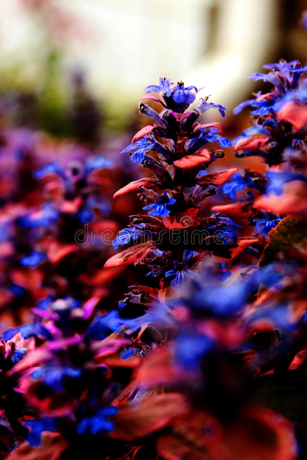 μπλε λουλούδια πεδίων στοκ εικόνα