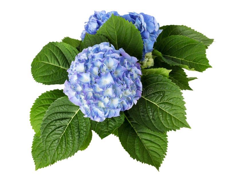 Μπλε λουλούδια που απομονώνονται στο άσπρο υπόβαθρο στοκ εικόνα