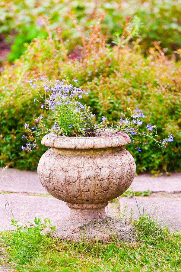 Μπλε λουλούδια lobelia στο βάζο πετρών στοκ εικόνες