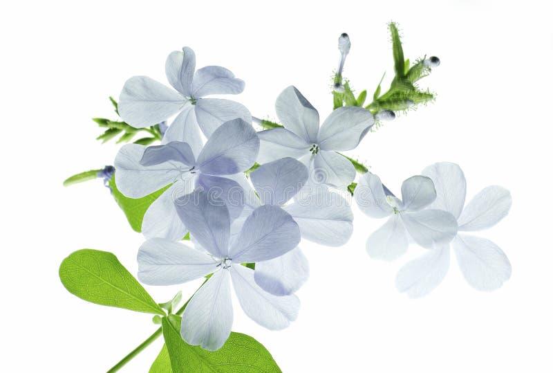 Μπλε λουλούδι αναδρομικά φωτισμένο στοκ φωτογραφίες