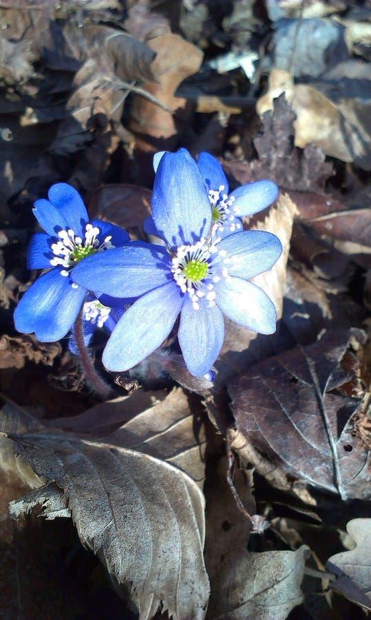 Μπλε λουλούδι στα φύλλα στοκ εικόνες
