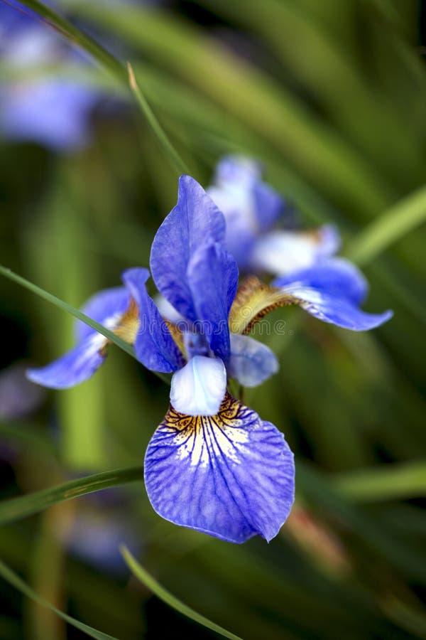 Μπλε λουλούδι της Iris στην άνθιση στοκ φωτογραφία με δικαίωμα ελεύθερης χρήσης