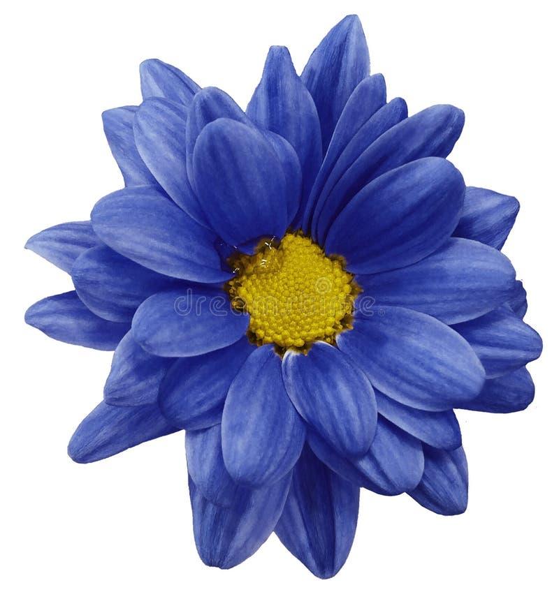 Μπλε λουλούδι χρυσάνθεμων που απομονώνεται στο άσπρο υπόβαθρο με το ψαλίδισμα της πορείας closeup Καμία σκιά Για το σχέδιο ελεύθερη απεικόνιση δικαιώματος