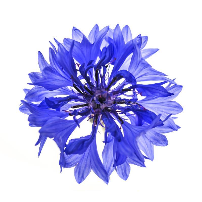 Μπλε λουλούδι cornflower στοκ εικόνα