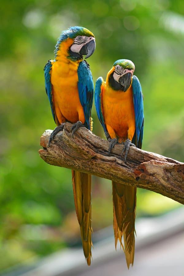 Μπλε παπαγάλοι Macaw στοκ εικόνες