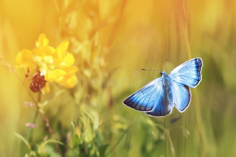 μπλε πεταλούδα που πετά σε ένα ηλιόλουστο λιβάδι μια θερινή ημέρα στοκ φωτογραφίες με δικαίωμα ελεύθερης χρήσης