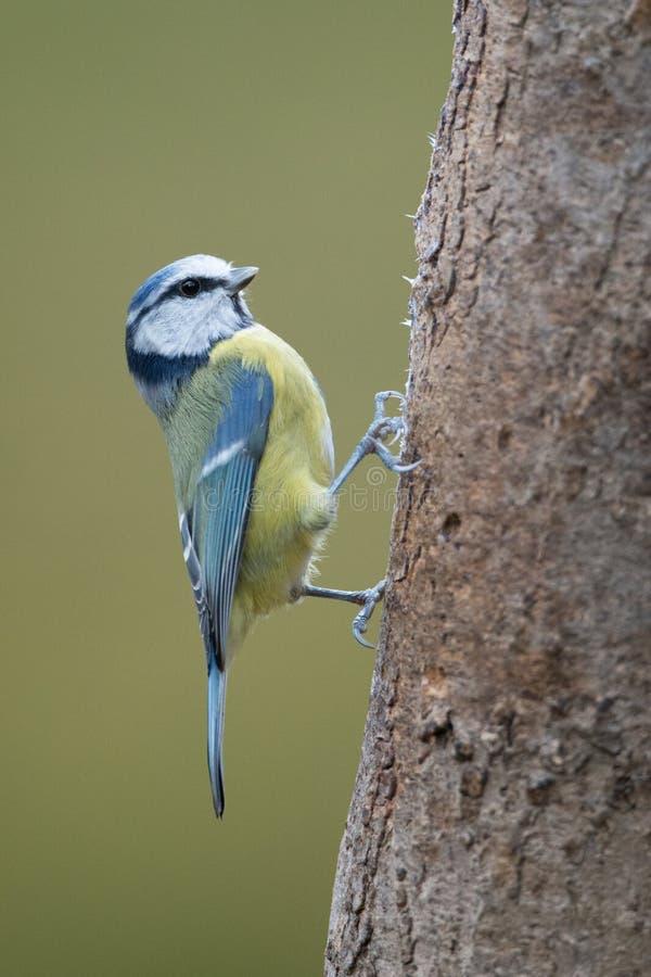 Μπλε πουλί Tit στοκ φωτογραφία