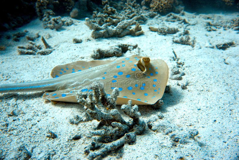 Μπλε σημείο stingray στην άμμο στοκ φωτογραφία