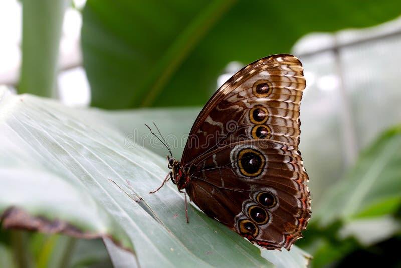 Μπλε συνεδρίαση πεταλούδων Morpho σε ένα μεγάλο φύλλο στοκ εικόνα