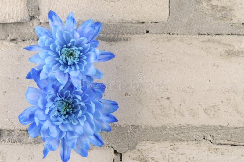 Μπλε χρυσάνθεμα πέρα από τον γκρίζο τουβλότοιχο στοκ φωτογραφία