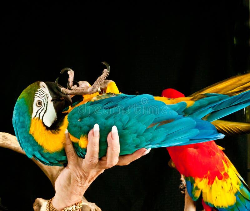 Μπλε-χρυσός macaw που βάζει πίσω στο χέρι ιδιοκτητών στοκ φωτογραφίες με δικαίωμα ελεύθερης χρήσης